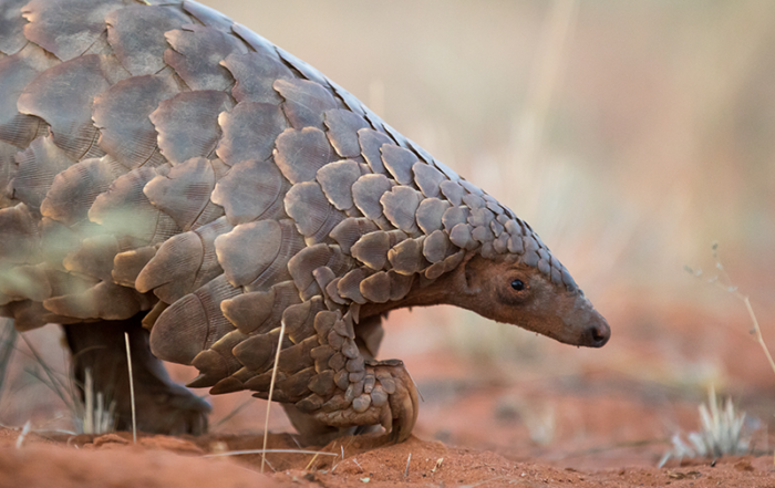 Whats-a-pangolin